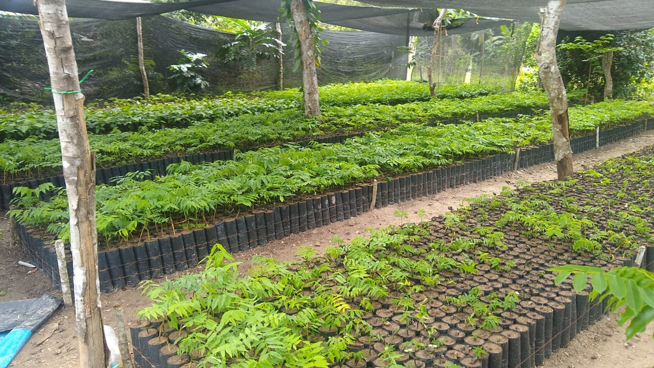 plant-a-tree-planting-charity-native-amazon-rainforest-reforestation-agroforestry-peru-plant-your-future-dipteryx-micrantha-shihuahuaco